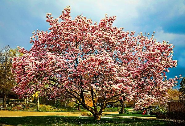 Beautiful Jane Magnolia Tree in Bloom