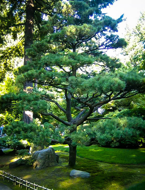 Japanese Black Pine Trees For Sale Online The Tree Center