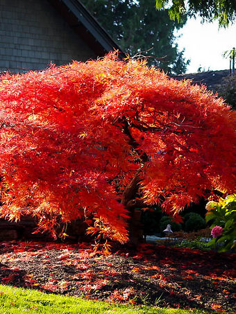 Orangeola Japanese Maple