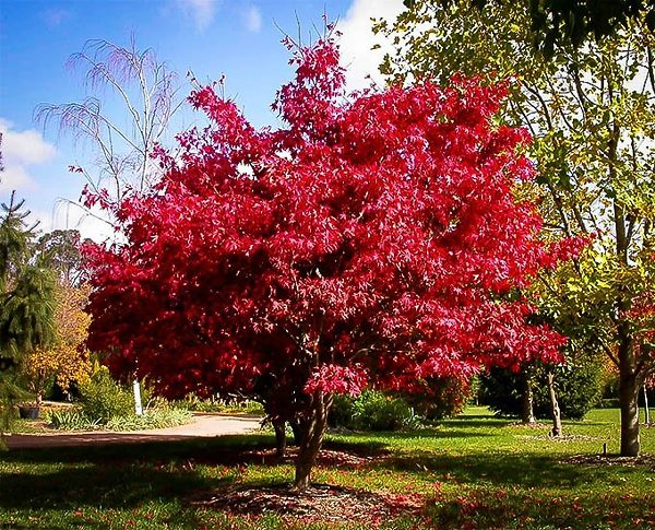 Osakazuki Japanese Maple