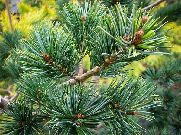 Japanese White Pine Needles