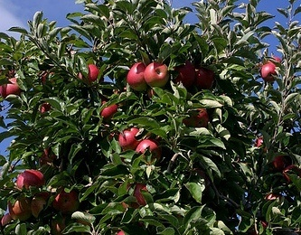 Jonathan Apples on Tree