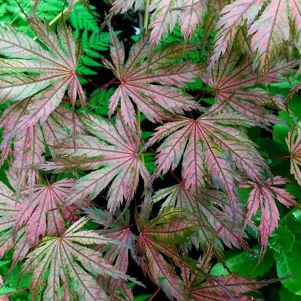 Jubilee Japanese Maple