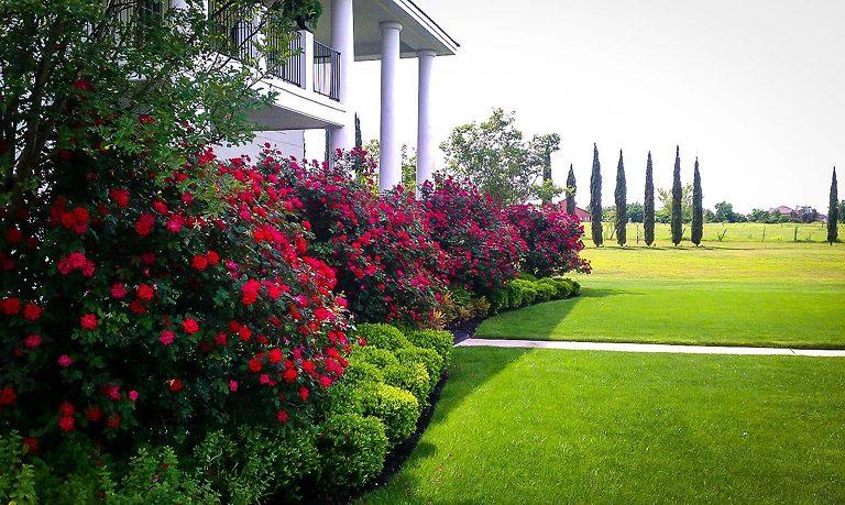 Double Knockout Rose Bush Landscape