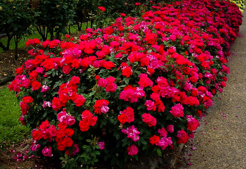 Red Knockout Rose Bushes For