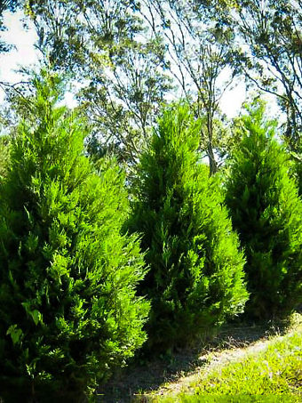 Leyland Cypress Trees