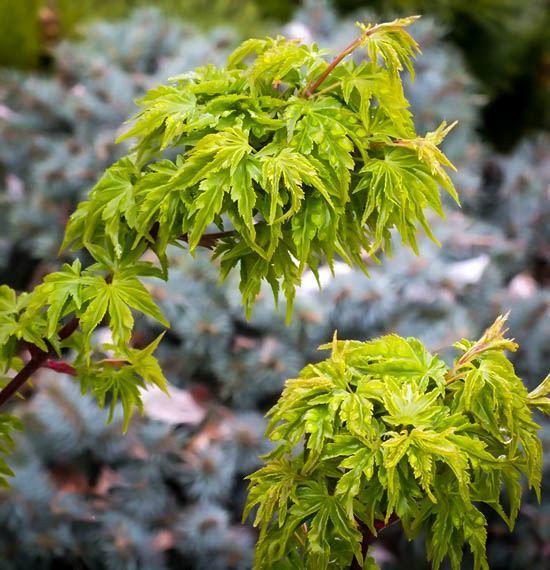 Lion's Head Japanese Maple Tree Leaves