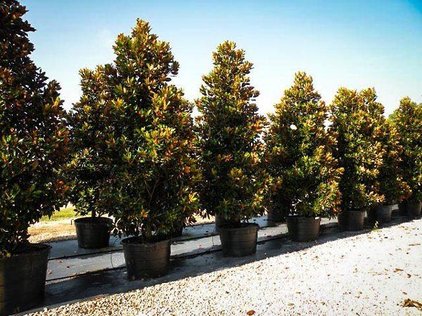 Little Gem Magnolia Trees
