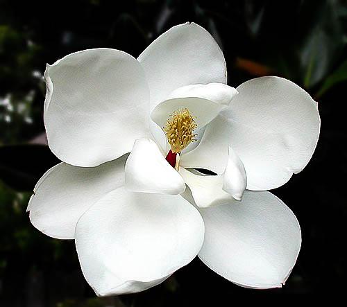Little Gem Magnolia Flower