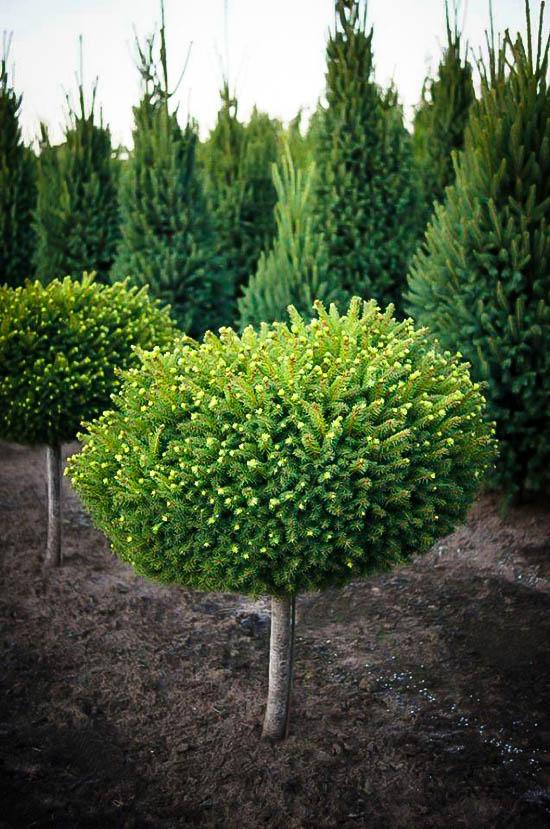 Little Gem Norway Spruce Tree