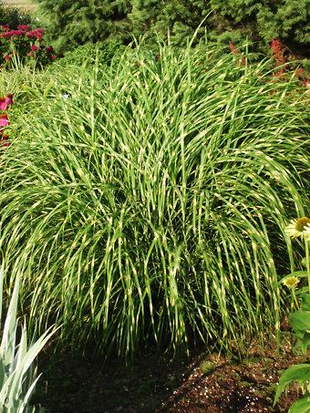Buy Ornamental Grasses Online The Tree Center
