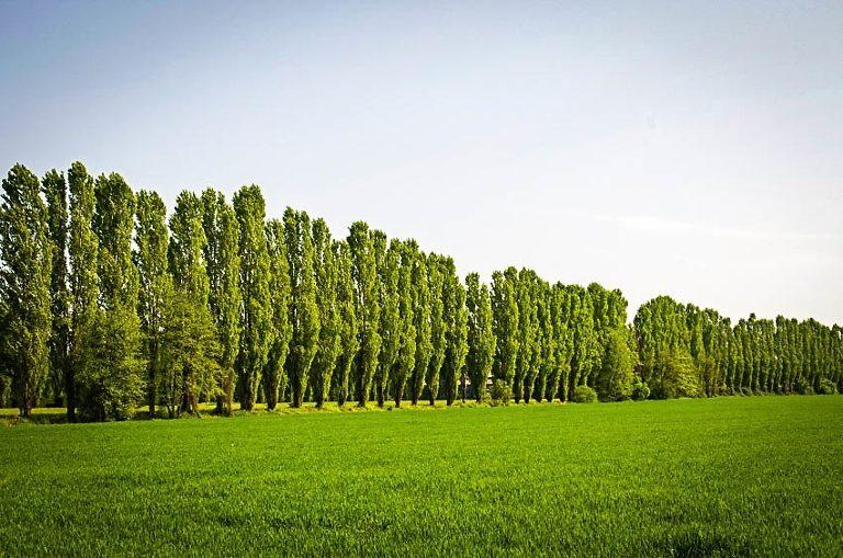Lombardy Poplar Trees In Row