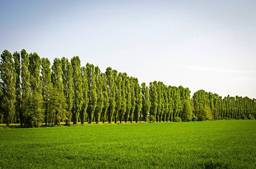 Lombardy Poplar Trees In Row