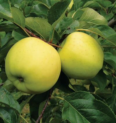 Luna Semi-Dwarf Apple Tree
