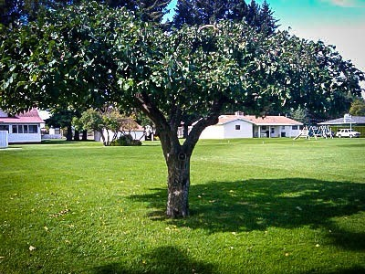Mature McIntosh Apple Tree