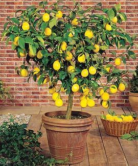 Meyer Lemon Tree in Pot