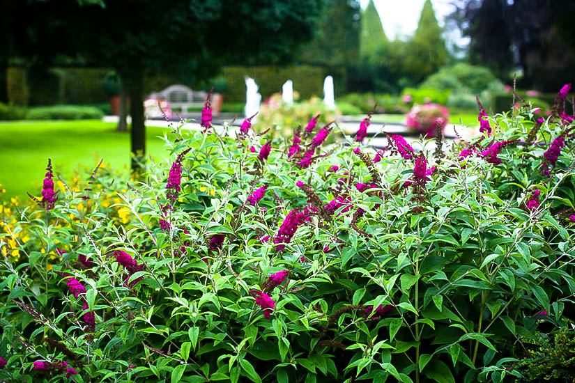 Miss Ruby Butterfly Bush For Sale Online The Tree Center