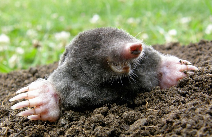 how to get rid of ground moles with dawn soap