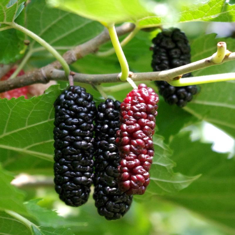 Berries That Grow On Trees The 6 Most Popular Berry Trees