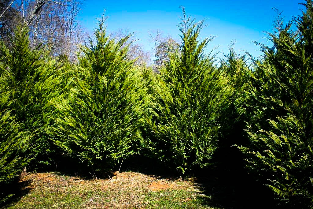 Murray Cypress Trees For Sale Online The Tree Center