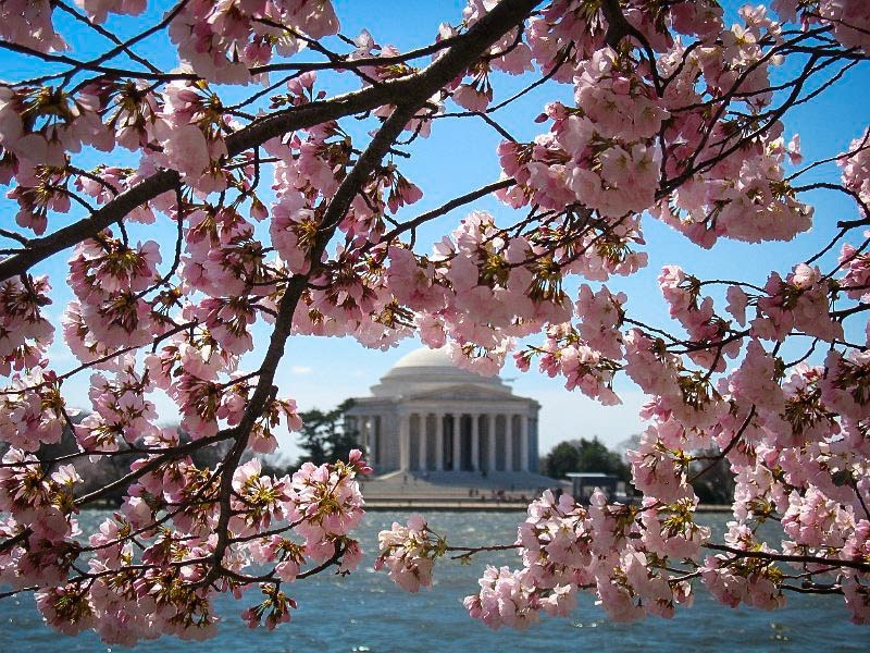 Okame Cherry Blossom Flowers in DC
