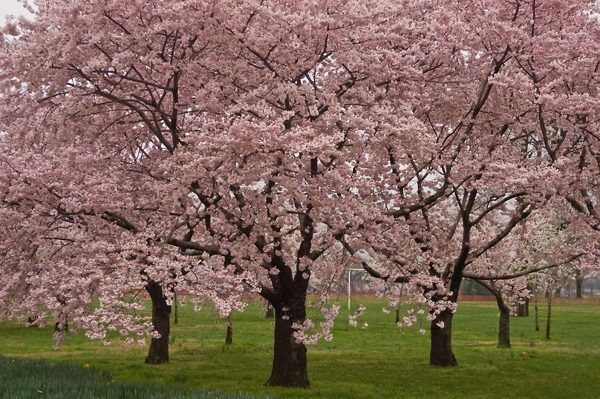 Okame Cherry Blossom Tree in DC