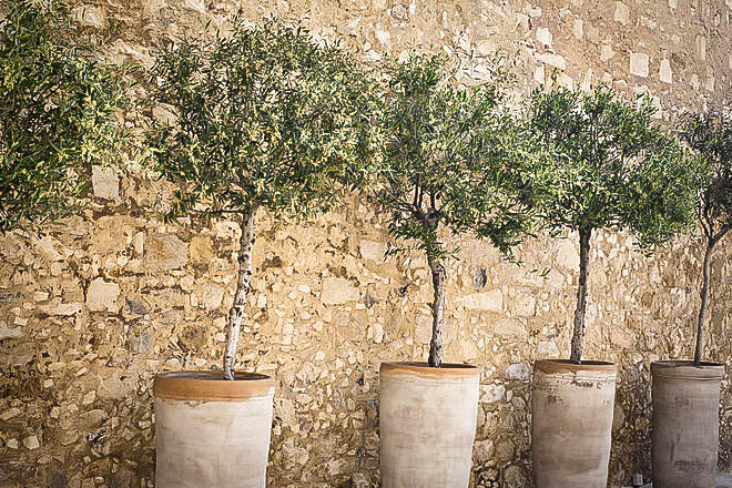 Olive Trees In Containers