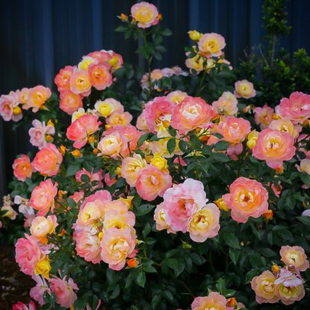 Oso Easy® Roses
