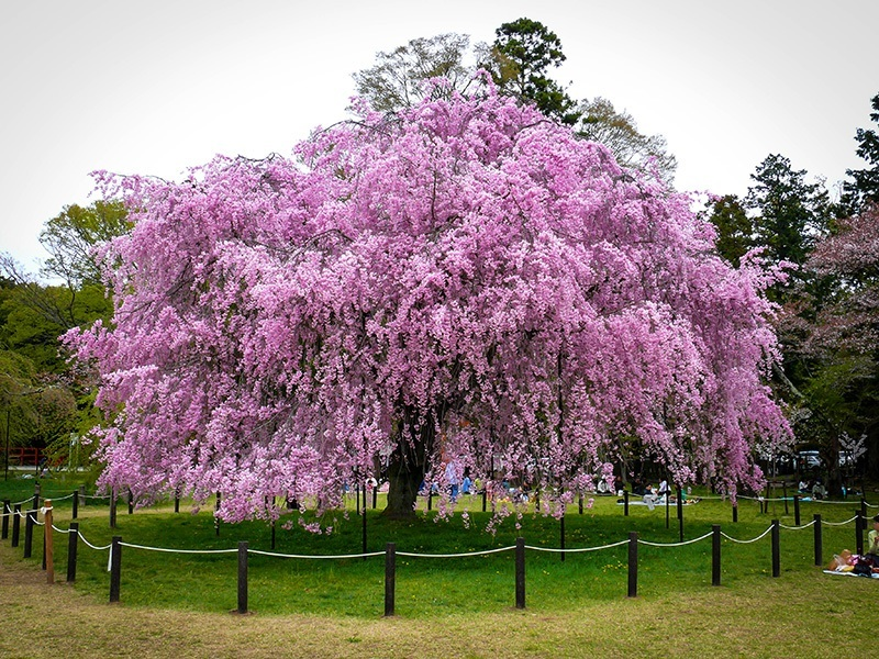 Pink Weeping Cherry For Sale Online The Tree Center