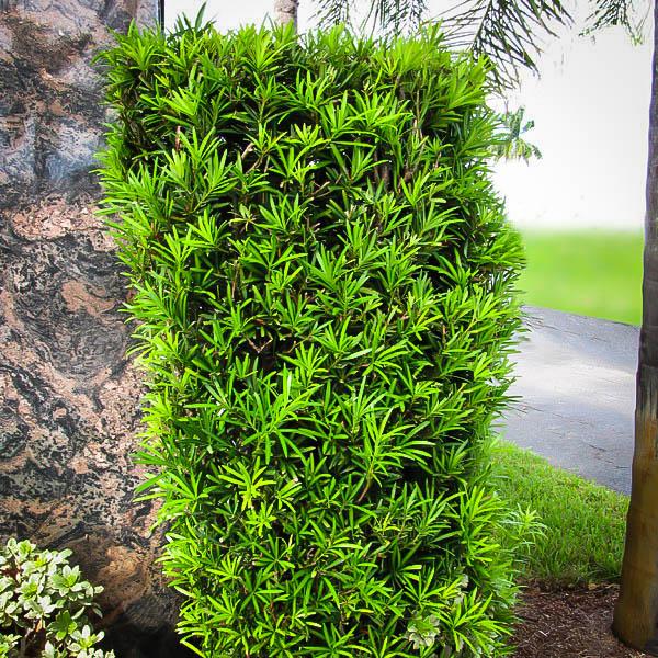 Upright Style podocarpus macrophyllus Podocarpus Bonsai Tree Flowering