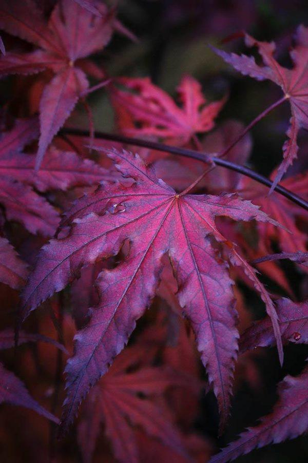 Purple Ghost Japanese Maple Leaves