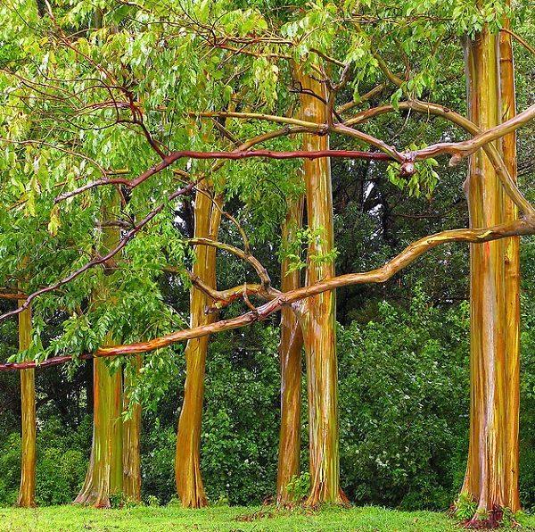 Group of Rainbow Eucalyptus Trees