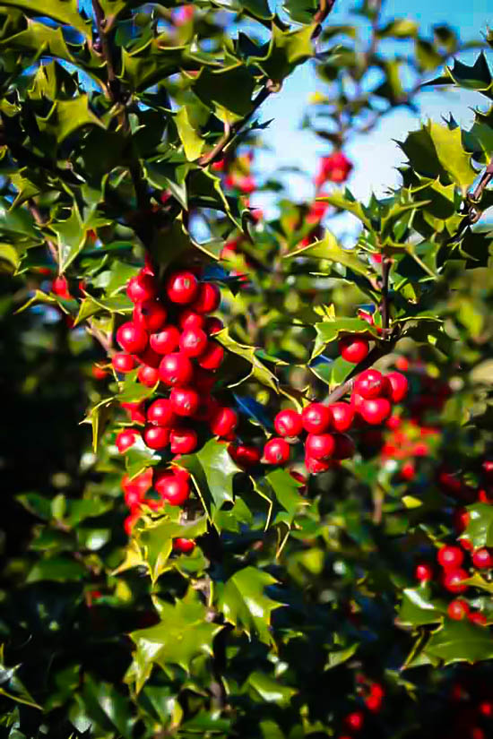 Red Beauty Holly Berries
