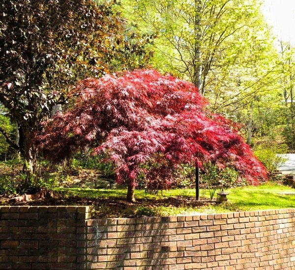 Red Dragon Japanese Maple Tree In Shade