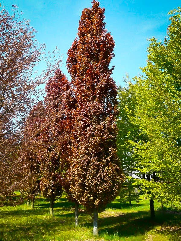Group of Red Obelisk European Beech Tree