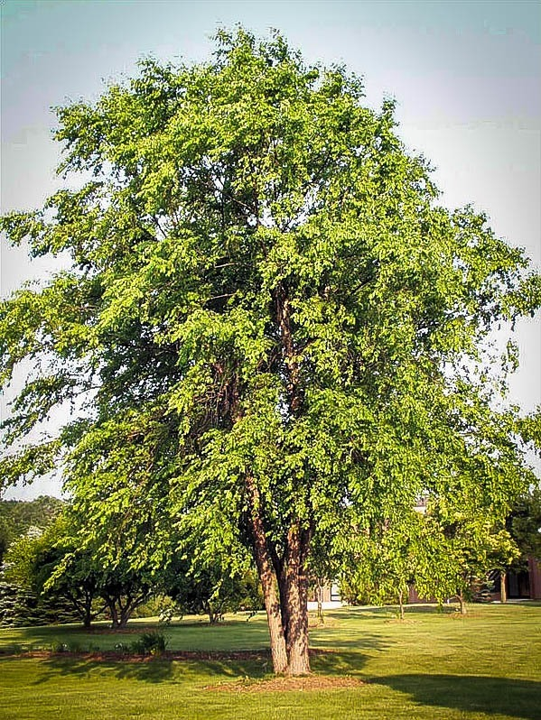 Fully grown River Birch tree.