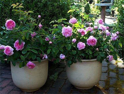 Growing Roses In Planters And Pots