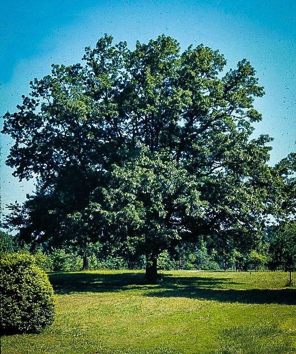 Mature Sawtooth Oak Tree