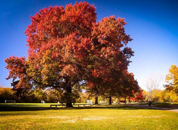 Large Scarlet Oak Tree