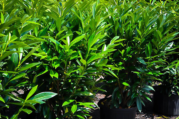 Skip Schipka Cherry Laurel