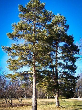 Scots Pine Trees