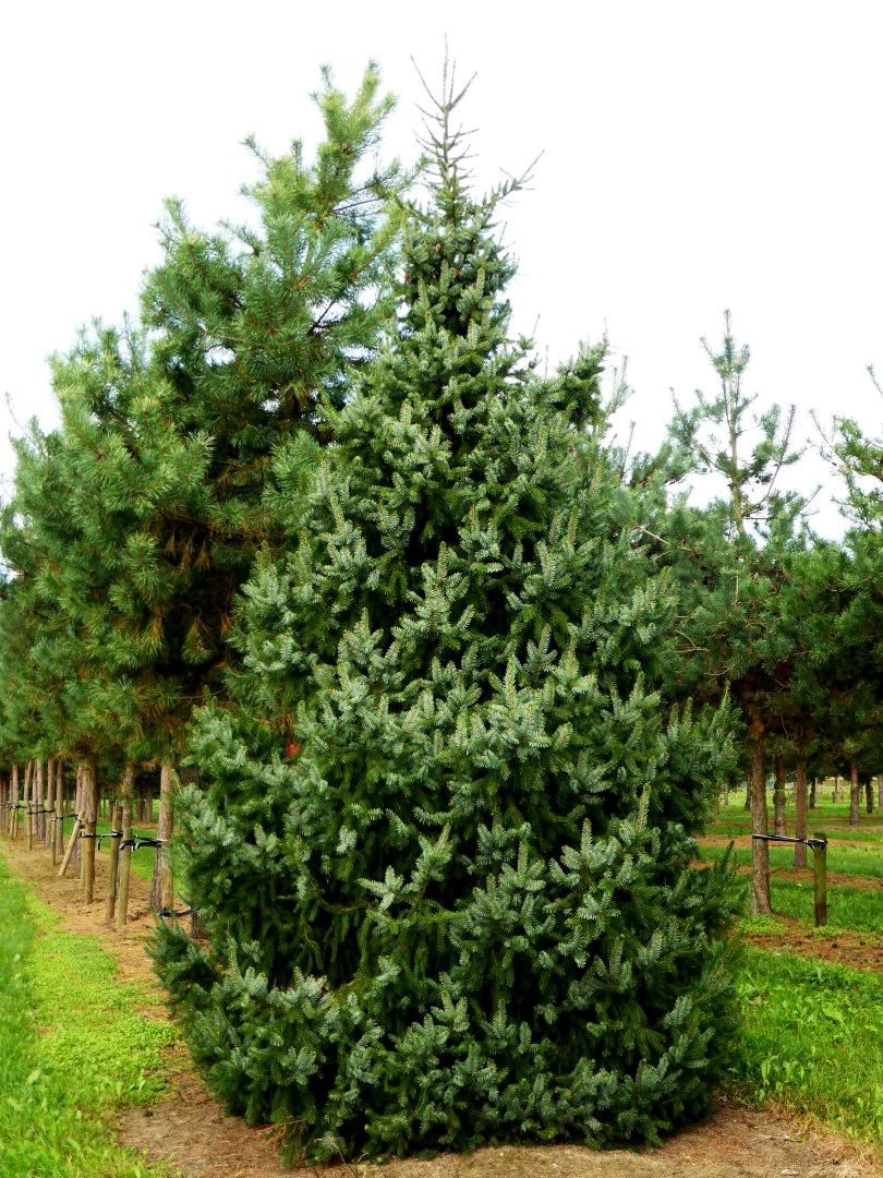 Serbian Spruce tree 20-40cm cell grown Picea omorika