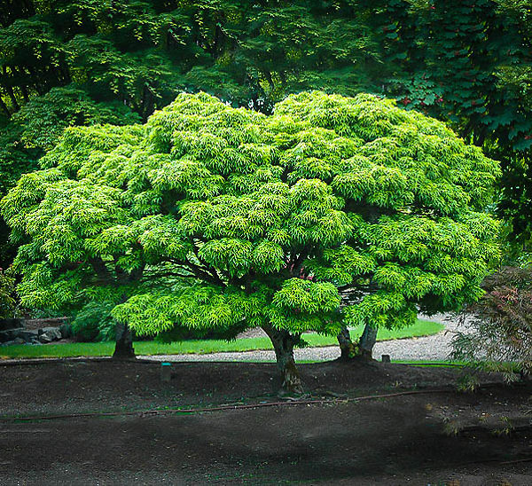 Sharp's Pygmy Japanese Maple