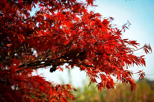 Sherwood Flame Japanese Maple Leaves