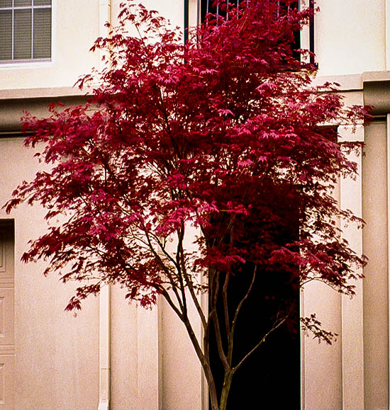 Sherwood Flame japanese Maple Tree