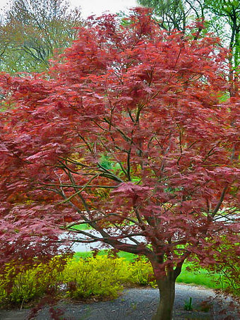 Sherwood Flame Japanese Maple