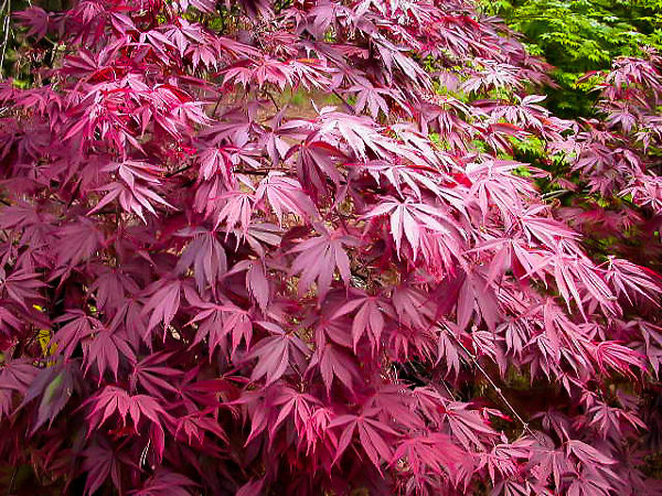 Sherwood Flame Japanese Maple Leaf