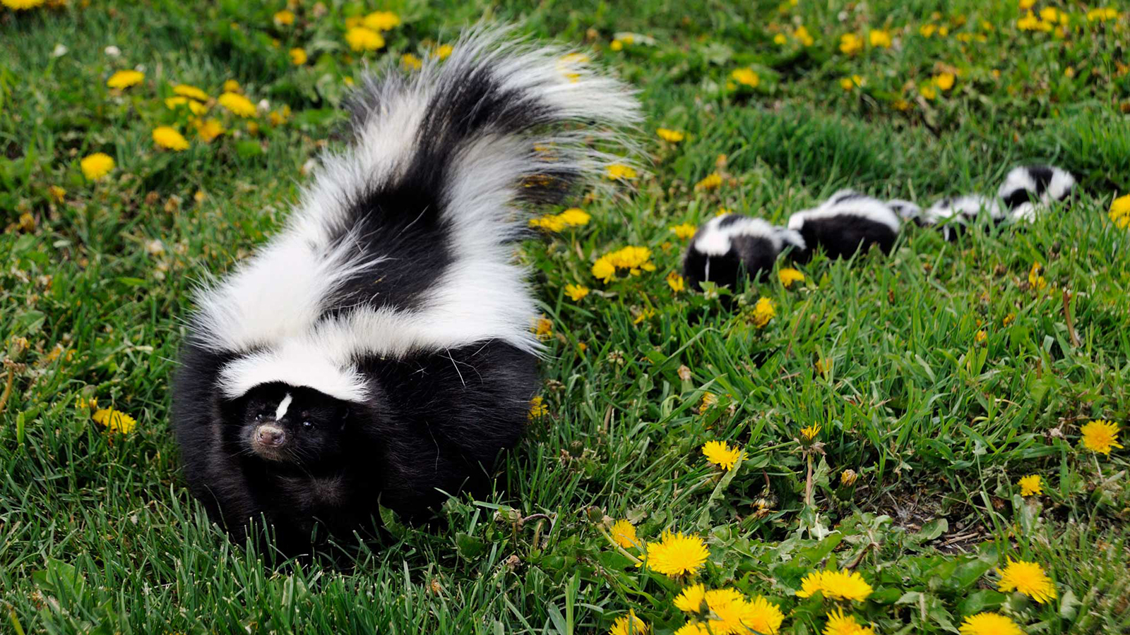 Get Rid Of Skunks