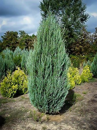 Skyrocket Juniper Tree