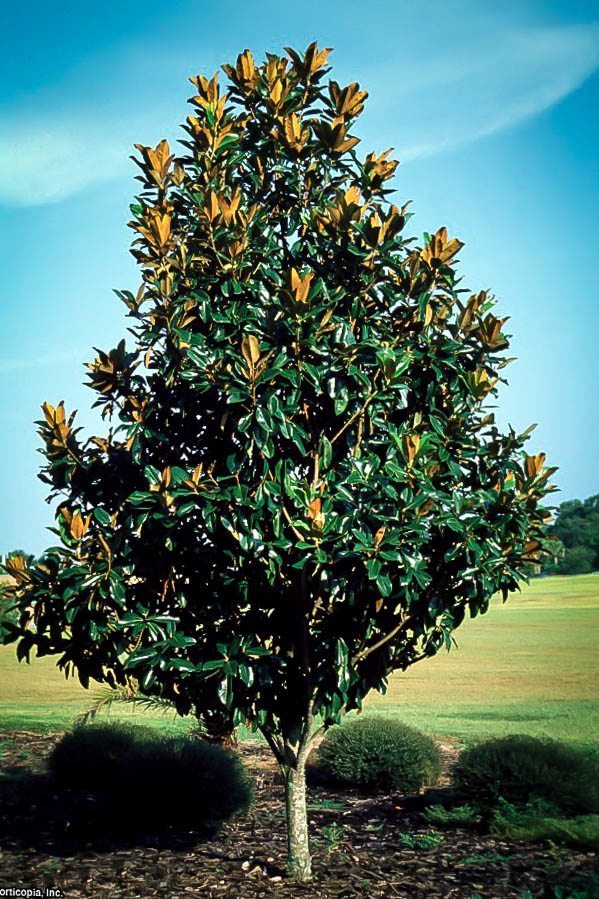 Young Southern Magnolia Tree